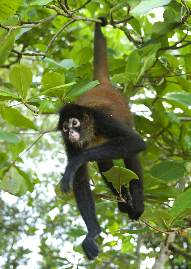 spider_monkey