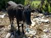 cow-in-dump