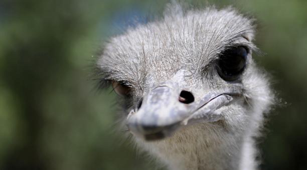 mexico_ostrich