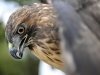 mexico_eagle