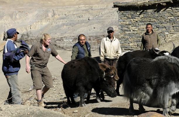 nepal_yaks