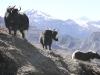 nepal_yaks2