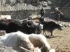 nepal_yaks3