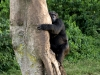 chimp_climbing_tree