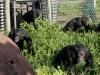 uganda_chimps