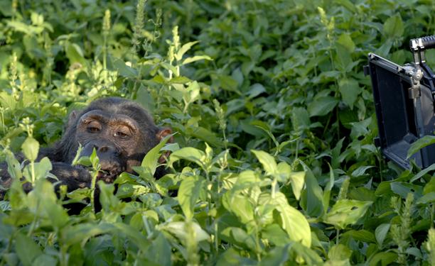 uganda_chimps3