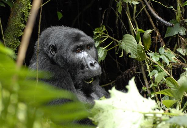 uganda_gorillas4