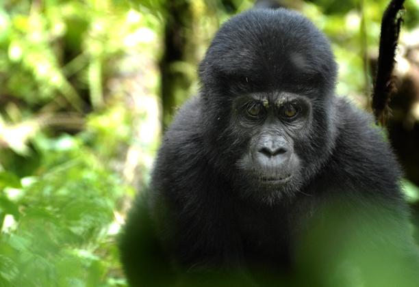 uganda_gorillas5