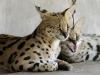zambia_cats