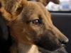 zambia_dog