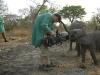 zambia_elephant2