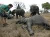 zambia_elephant3
