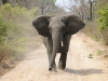 zambia_elephant6