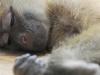 zambia_monkey