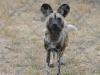 zambia_wild_dog