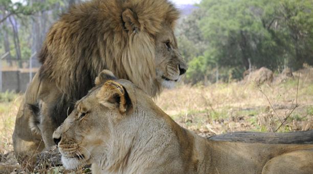 zambia_lions